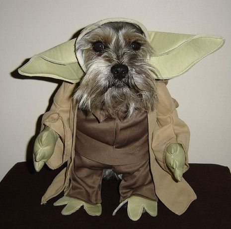 30 Mini Schnauzers Who Have Just About Had Enough Of Dressing Up