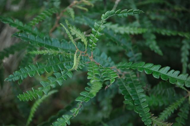 Sweet Fern  Sweet Fern is especially effective in repelling mosquitoes when it is burned in a fire. If you often have gatherings around the campfire, then consider growing some sweet fern to help keep the mosquitoes away!