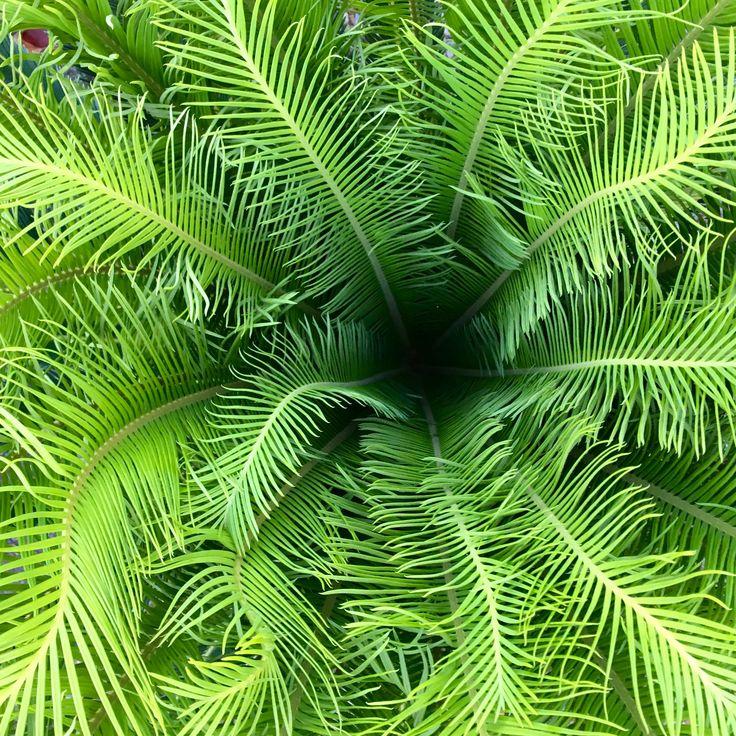 Beautiful new flush on our cycads 🌱 @palmlandsydney 🌴 #cycads #palmland #garden #potplant #plantinspiration #plantlovers #cycas #cycasrevoluta #sagopalm #cycadaceae #ornamentalplants #hardyplants #tropical #tropicalgarden #plantoftheday