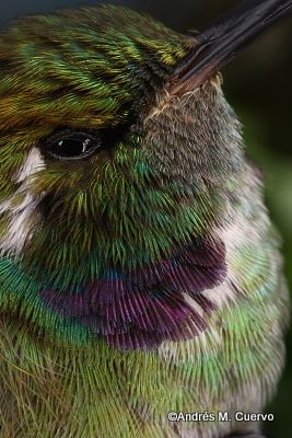 Best Hummers Images On Pinterest Humming Birds Beautiful - Photographer captures amazing close up photos of hummingbirds iridescent feathers