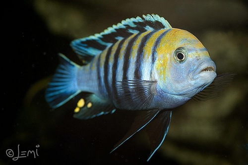 Cynotilapia afra (Cobue) Creatures ~ of the Sea and Water ...