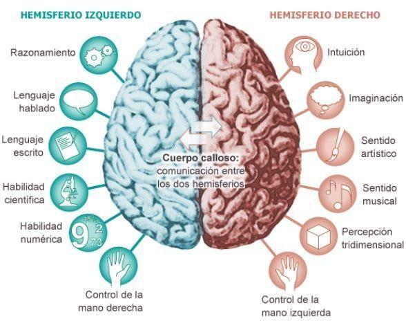 La Corteza Cerebral Funciones Y Partes Con Imágenes Y Esquemas Anatomia Del Cerebro Humano Corteza Cerebral Músculos Del Cuerpo Humano