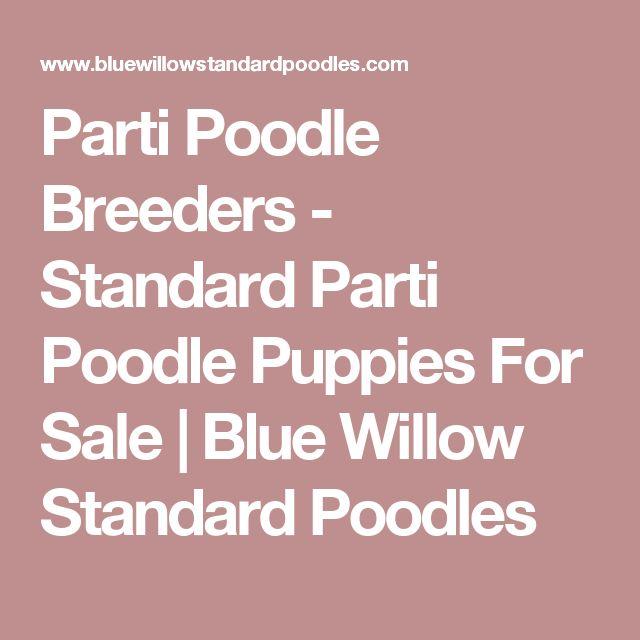 Parti Poodle Breeders - Standard Parti Poodle Puppies For Sale | Blue Willow Standard Poodles