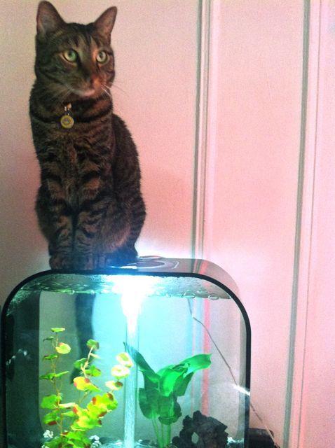10 best Cats and Aquariums images on Pinterest | Fish aquariums ...