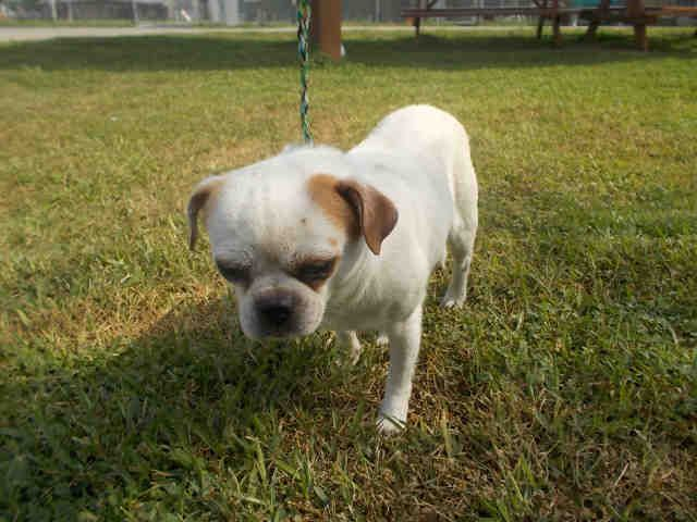 05/06/17-ROSENBERG, TX - FOSTER NEEDED!!! This DOG - ID#A011035 I am a male, white and orange Chihuahua - Smooth Coated. The shelter staff think I am about 4 years old. I have been in shelter care since Apr 28, 2017. This information was refreshed 2 minutes ago and may not represent all of the animals at the Fort Bend County Animal Services Shelter