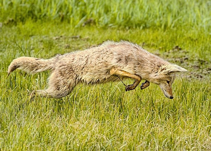 """500px / Photo """"Coyote Hunting"""" by Ken Hadfield"""
