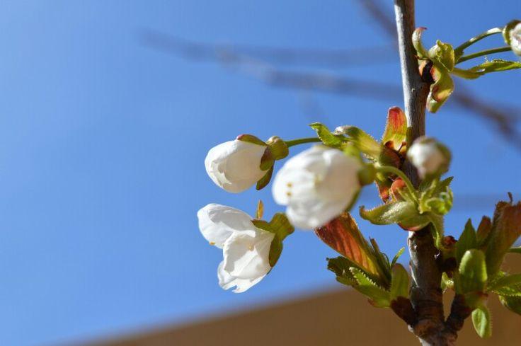 Kersenbloesem<3 #spring