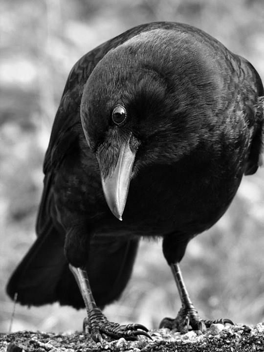 did u know that crows are extremely intelligent? they can remember a single person after years of seeing them.