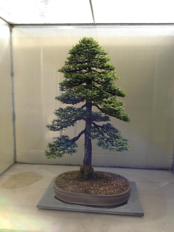 Pacific Coastal Redwood Bonsai