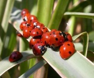 """A favorite """"good bug,"""" ladybugs have been a popular beneficial insects for the past 20 years. When released at sundown (because they don't fly at night), ladybugs eat aphids, mealy bugs, scale, leaf hoppers, and other destructive pests."""