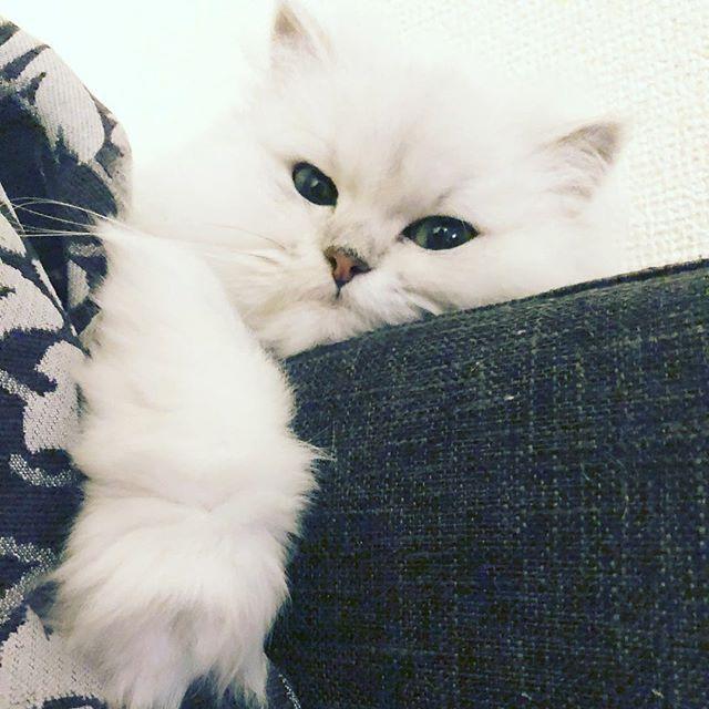 のえるちゃん ねこ Kitten Cat ペルシャ猫 チンチラ