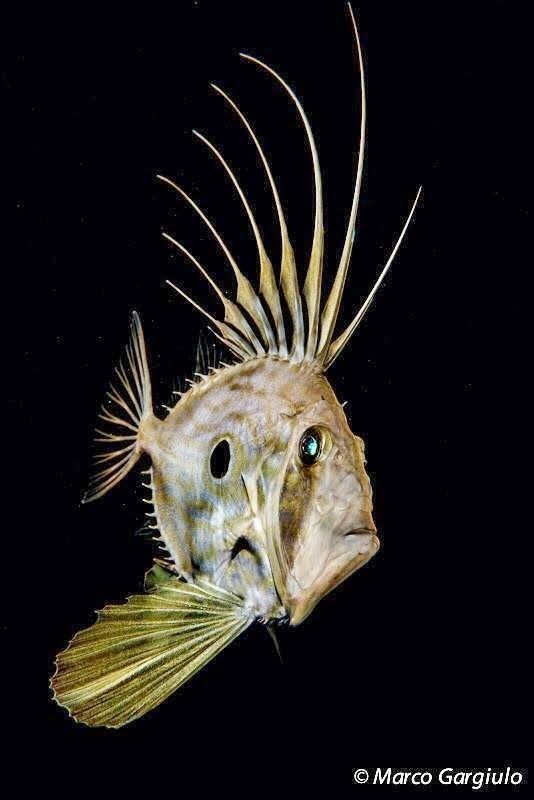 Even fish can sport a crazy Mohawk.