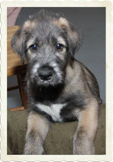 Irish Wolfhound Puppy.. Someone please buy me this and deliver it to my house :D