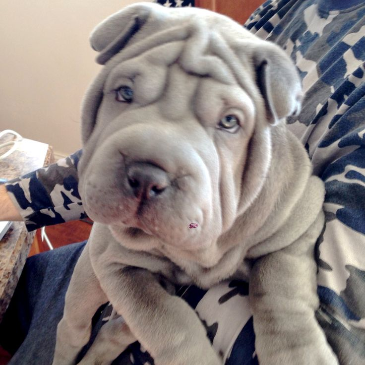 blue shar pei puppy, my next addition