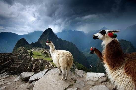 Llama's on a high moutain in Machu Picchu, Peru