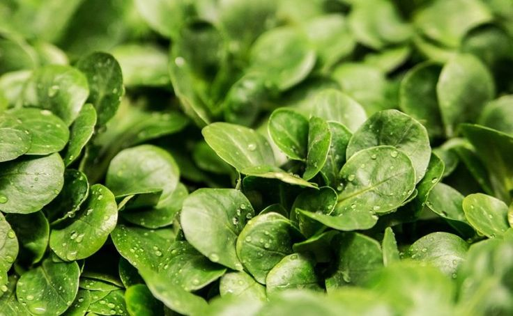 Ať se záhon i balkon zelenají salátem, špenátem, mizunou, polníčkem – Pěstuj zeleninu