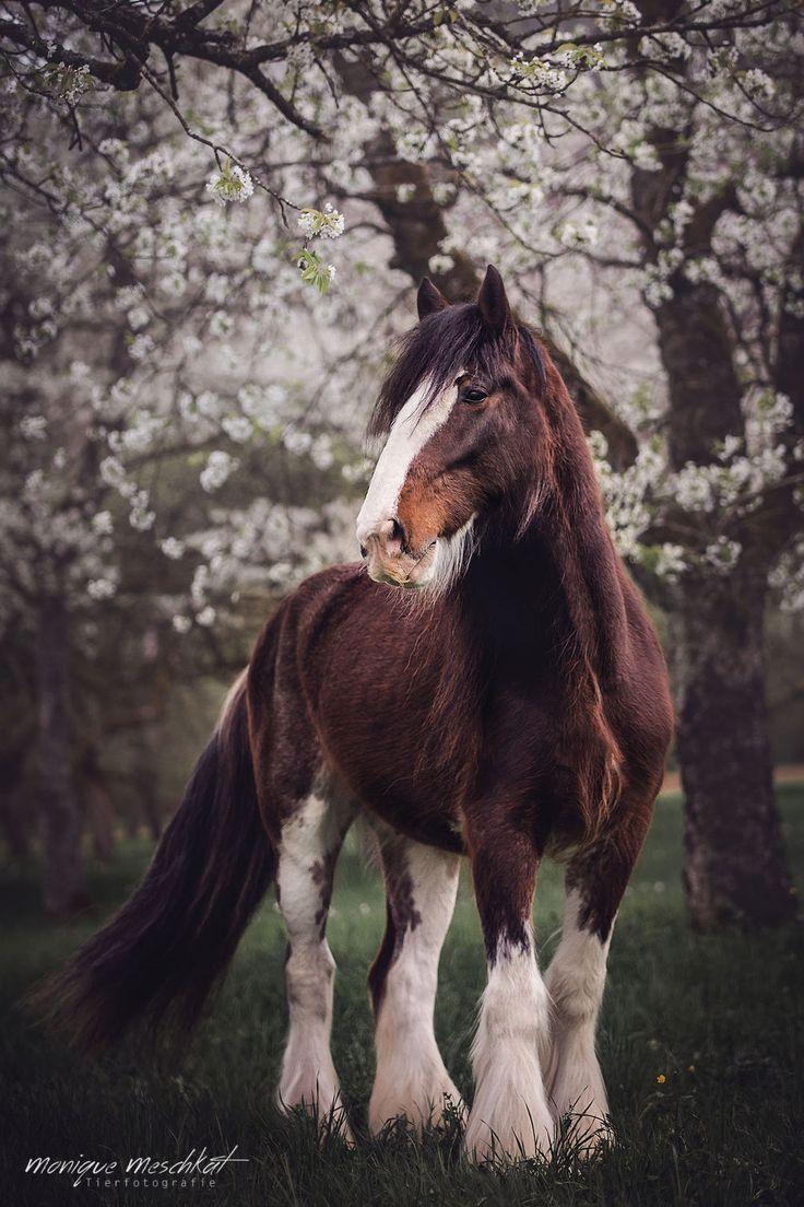 Pferde – meschkat-fotografies website! – Monique Meschkat – – Pferde – mit …   – Clydesdale