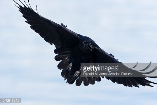 Common Raven Flying North America Stock Photo | Getty Images