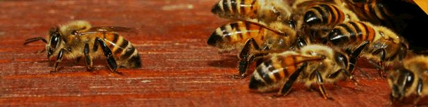 Arrival of honeybees is obvious in those gardens with numerous plants and beautiful flowers. Usually, honeybees set up their hives in the gardens with many varieties of plants and flowers. If you are a garden owner and find a bee hive in your garden area then you should consider taking help of a professional bee removal Miami services to get rid of them. Visit here http://miamibeeremoval.blogspot.in/2014/04/bee-removal-miami-go-for-best-services.html