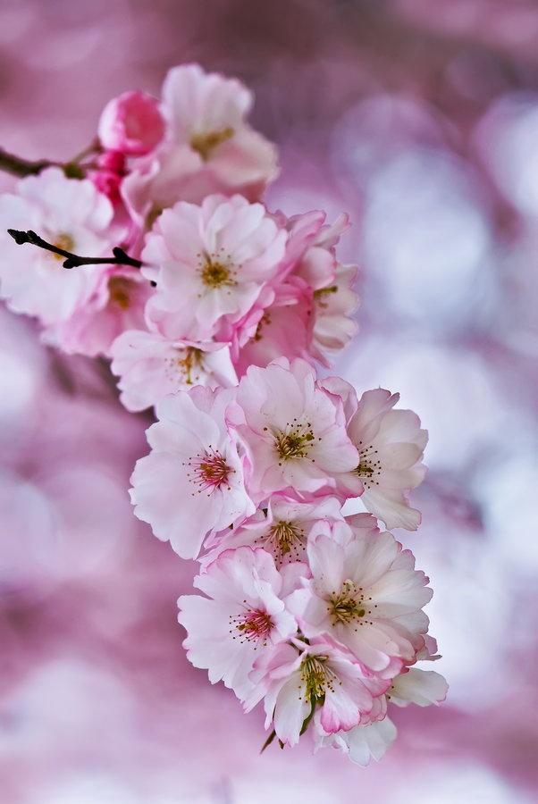 Sakura Cherry blossom Cerejeira