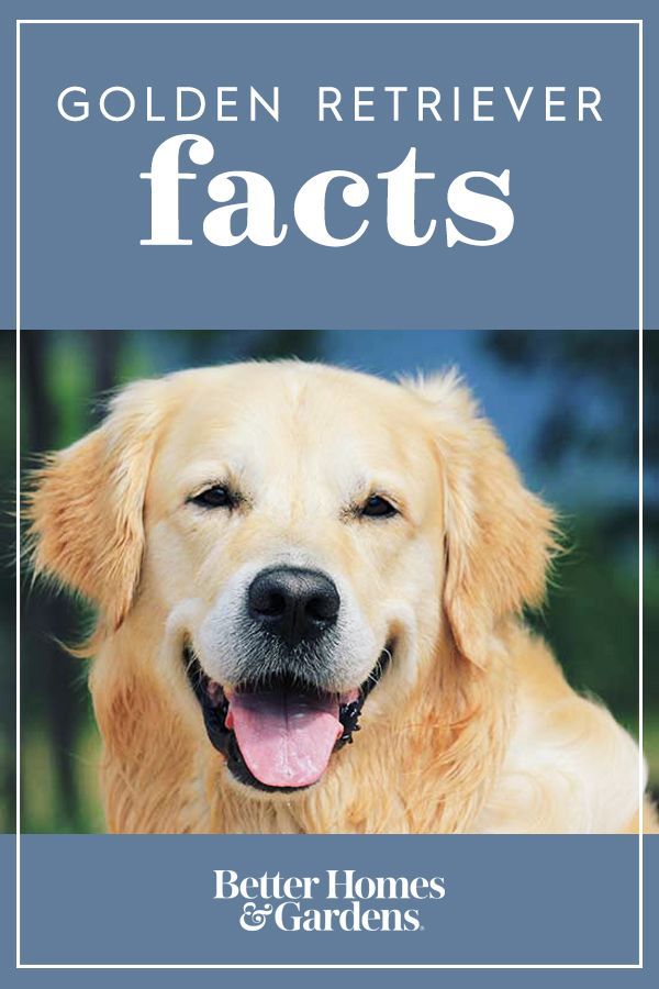 Dog Care Facts Every Golden Retriever Owner Needs To Know Dogs