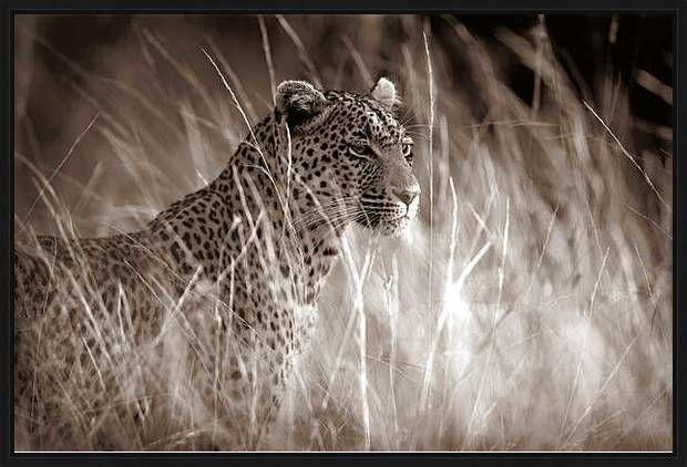 Horst Klemm, Leopard in high grass, 1997 / 2007 © www.lumas.com #lumas