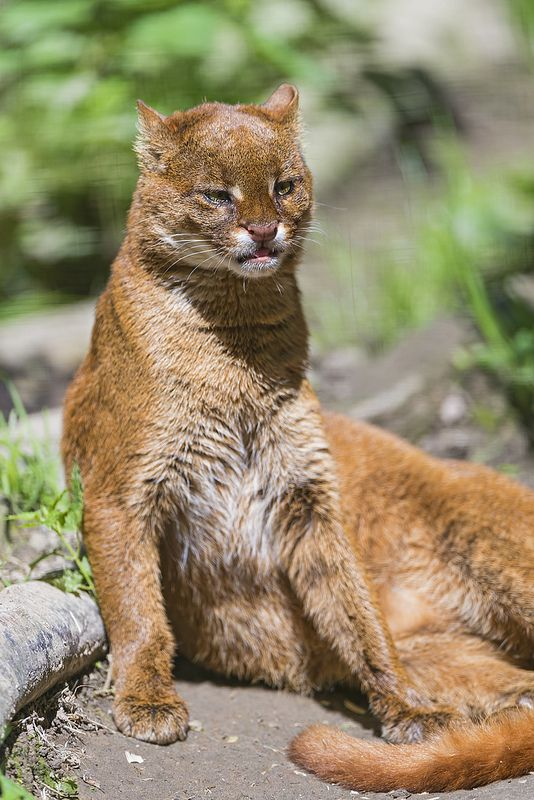 Relaxed jaguarundi (Puma yagouaroundi syn. Herpailurus yagouaroundi), also called eyra cat, a small-sized wild cat native to Central and South America. The jaguarundi has short legs, an elongated body, and a long tail. The ears are short and rounded. The coat is without spots, uniform in color, with, at most, a few faint markings on the face and underside. The coat can be either blackish to brownish-grey (grey phase) or foxy red to chestnut (red phase).