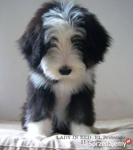 BEARDED COLLIE - He looks so much like my Sam as a puppy! You can read Sam's Story using the link at the top under My Kind Of Dogs.