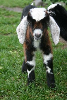 Miniature Nubian Goat ...I can't wait to get a couple!  So cute, plus I think I might like having milk, goat cheese, goat soap, etc...