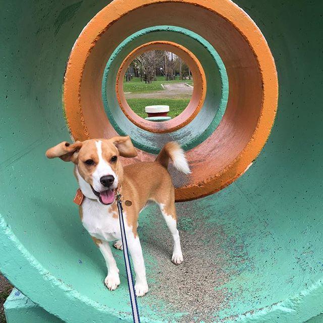 今日の散歩🐶🌟風で耳がパタパタ❤️#ビーグル#レモンビーグル#レモンカラー#ビーグルレモンカラー#犬#スヌーピー#🐶#beagle#親バカ#垂れ耳#肉球#尻尾#ビーグル11ヶ月#愛犬#散歩#砂川#砂川市#北光公園#チューリップ#beagleloveit#beaglelover#dog#beagleworld#beaglelife#beaglestagram#george#sevenseasdog
