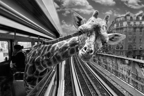 Animetro,  Copyright : Clarisse Rebotier et Thomas Subtil foto's van metro en foto's van (opgezette) dieren gecombineerd.