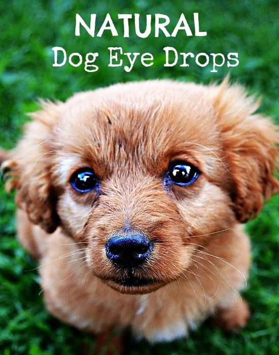 DIY Natural Dog Eye Drops. A natural dog care solution every dog owner needs to know how to make.