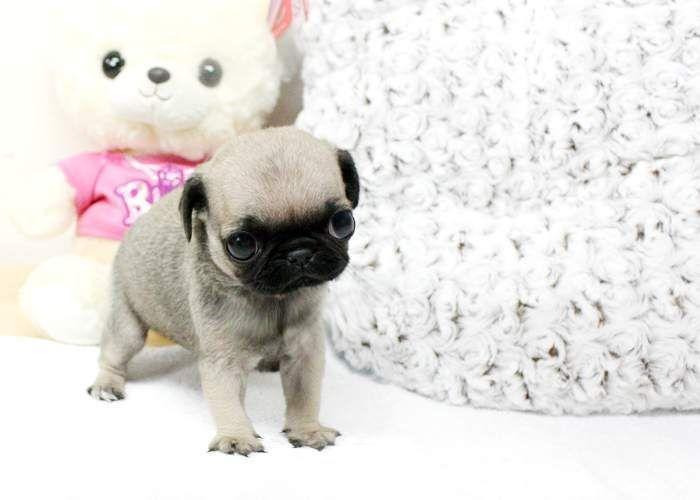 teacup pug | Animals | Pinterest | Teacup pug and Pug