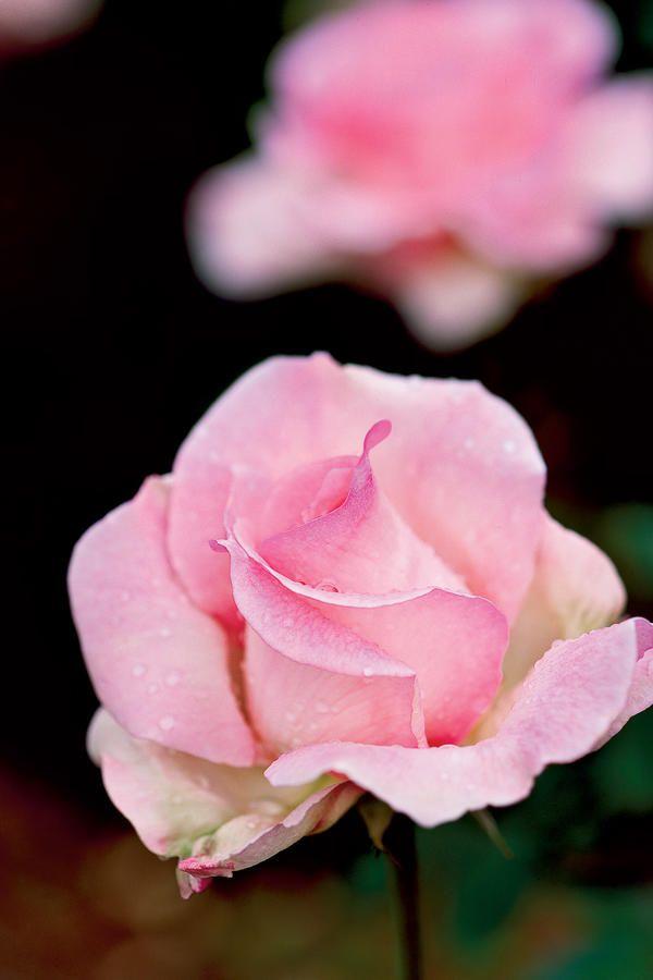 9 Dazzling Types of Roses: Tiffany Rose