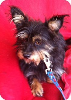 Pin By Cheryl Pets On Yorkshire Terrier Yorkshire Terrier Yorkshire Terrier Puppies Terrier