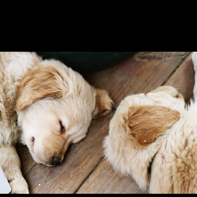 .: Sleepy Time, Sleepy Puppys, Golden Puppys, Labs Puppys, Golden Retriever Puppys, Fluffy Puppys, Baby Dogs, Naps Time, Sweet Dreams