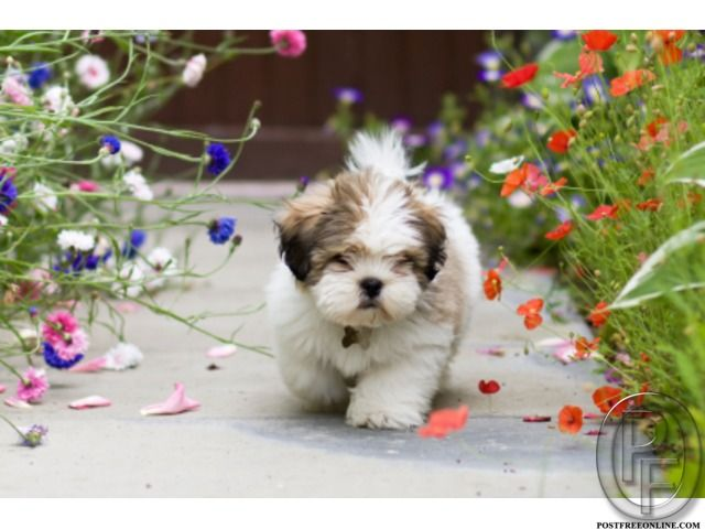 Lhasa Apso High Linage Puppies Available For Sale In Mumbai