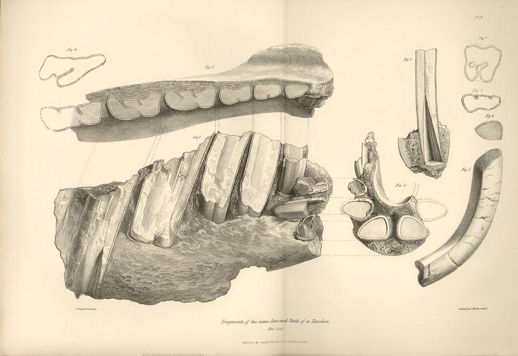 Fragments of lowar jaw and teeth of a toxodon Beagle darwin