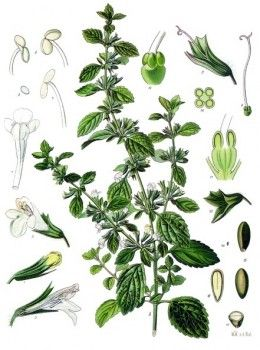 Lemon balm makes a calming tea, and is used for viral skin conditions such as herpes, and shingles.