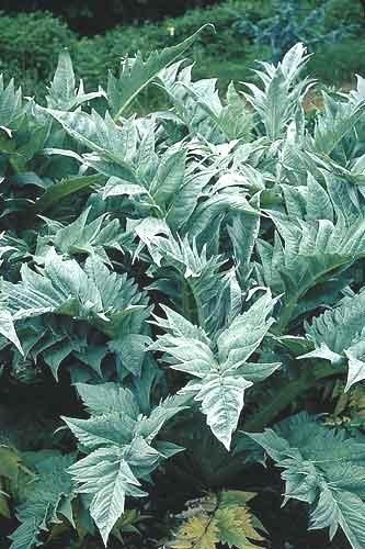 Cynara cardunculus The Globe Artichoke has deeply-cut, big grey silver leaves and tall stems with purple thistles in summer and early autumn.