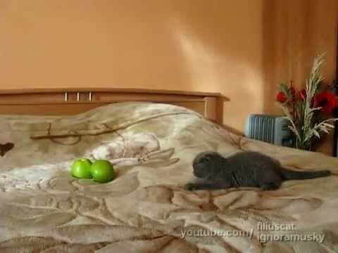 Funny Kitten Terrified of Apples