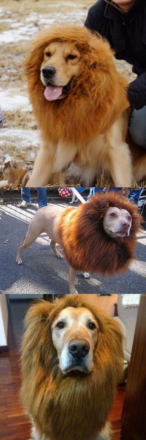 King of the Backyard with this Lion's Mane for Dogs #lionmanedogs #dogcostume