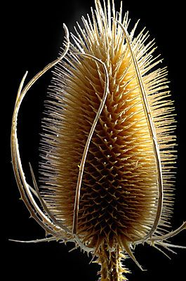 Teasels - brilliant for garden birds and when the birds are done with them, they look lovely in a vase too!