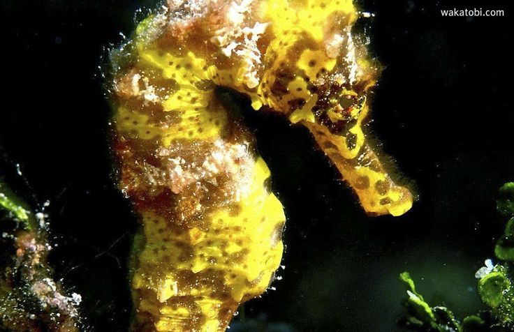 Pygmy seahorses are morphologically distinct from all other seahorses. Apart from their extremely miniscule size, they have a single opening gill on the back of their heads, whereas all other seahorse have a pair of gills opening on both sides. (Photograph: Maureen Curtin)