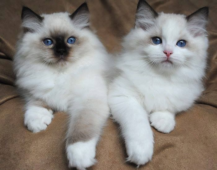Ragdoll kittens - Seal mitted and blue bicolour. A pair of sweeties.:)
