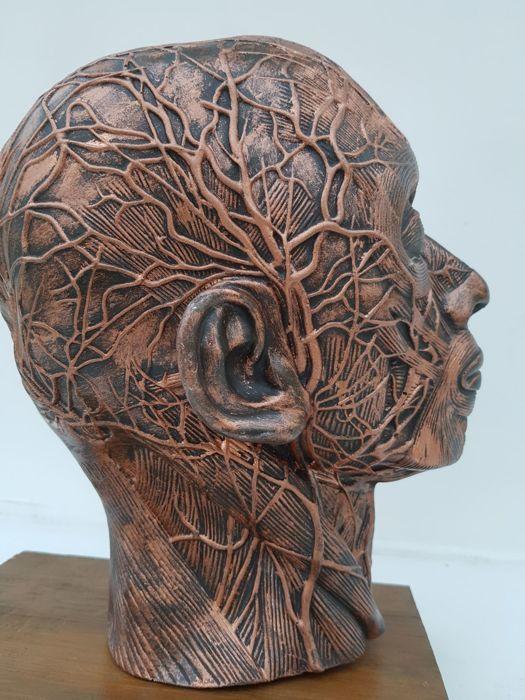 Schedel Decoration Nederland  Schedel DecorationDit schedelmodel toont de spieren zenuwen en bloedvaten van de rechterhelft van het menselijk hoofd.ProducteigenschappenSchedelmodel mediane doorsnedeRechterhelft van het hoofd met nekAfmetingen ongeveer natuurgetrouwAfmetingen: 21 x 27 x 7 cmGemaakt van hars met de basis van houtDoor het platte oppervlak van de mediane snede kan het model worden neergelegd.Toont spieren zenuwen en bloedvaten  EUR 10.00  Meer informatie