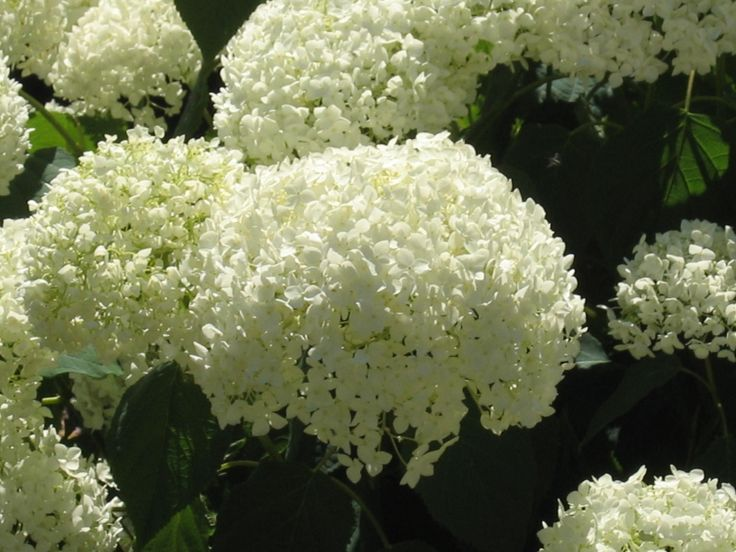 The Hydrangea shows huge flowers with many different petals.