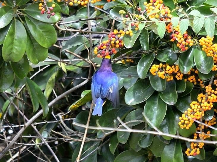 Visitante na Pousada dos Chás em Jurerê - Floripa - Brasil (Pássaro Gaturamo Verdadeiro)
