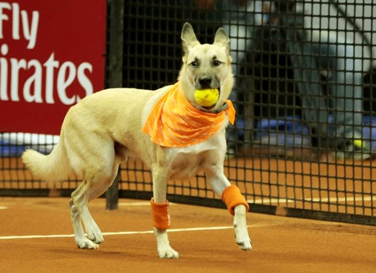 """Shelter Dogs Serve as """"Ball Boys"""" at Tennis Open to Raise Adoption Awareness"""