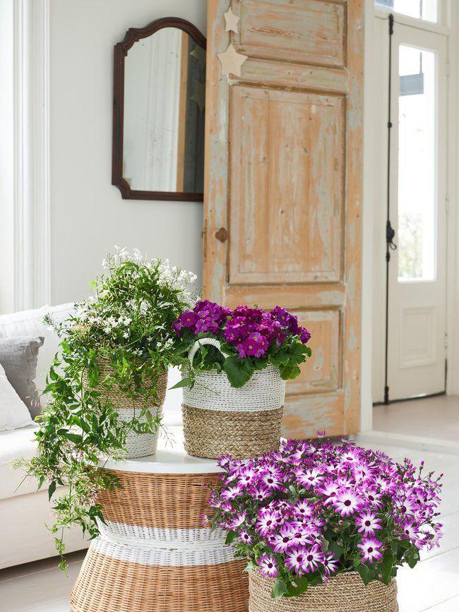 Die Winterblüher Becherprimel, Senecio und Jasmin sind die Zimmerpflanzen des Monats Februar